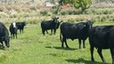 Cows and Bulls for sale